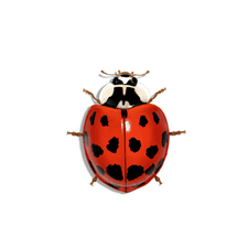 Illustration of Asian Lady Beetle