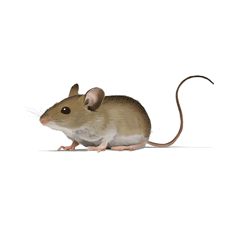 Illustration of House Mouse